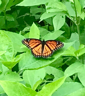 A Visit From A Monarch