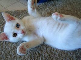 Heterochromia Kitten