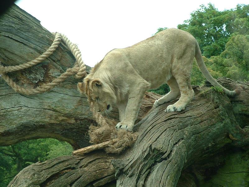 Lion at Longleat by jennasettle