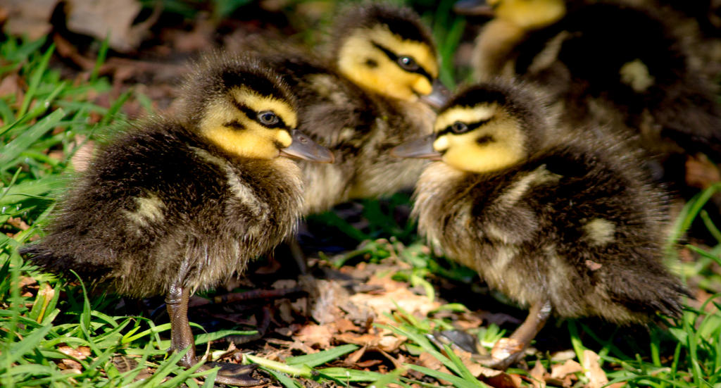 Duckpond_09 by a1samurai