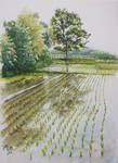 Paddy field and a tree