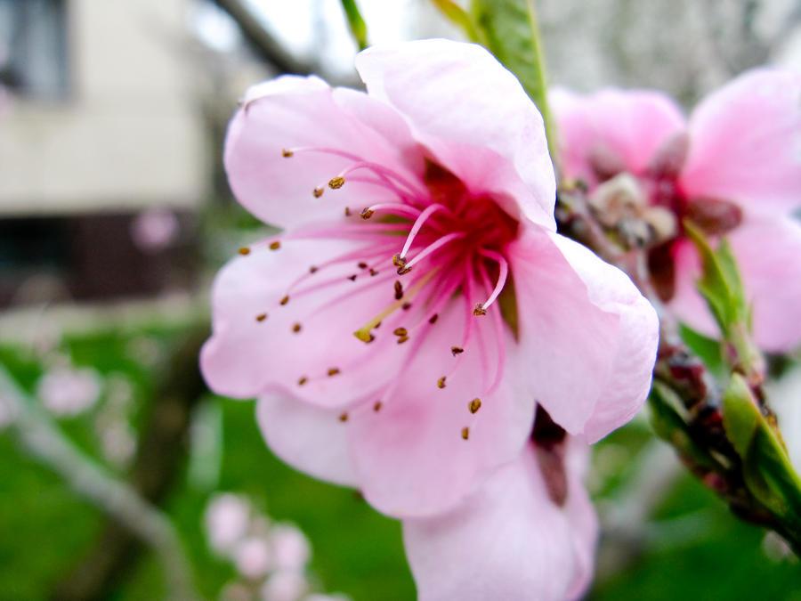 Peach blossom by zhornik on DeviantArt