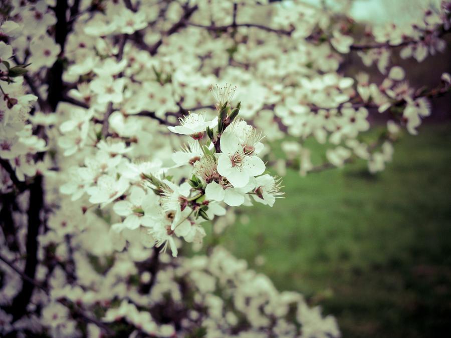 Blossom by zhornik