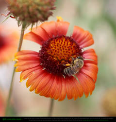 Honeybee On Blanket Flower 2