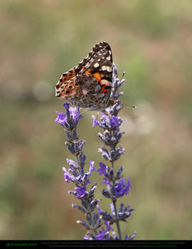 Painted Lady Butterfly On Lavender 2