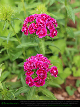 Hot Pink Turkish Carnations