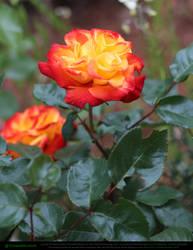 Yellow Orange Roses