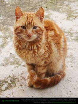 Ginger Tabby Cat 3
