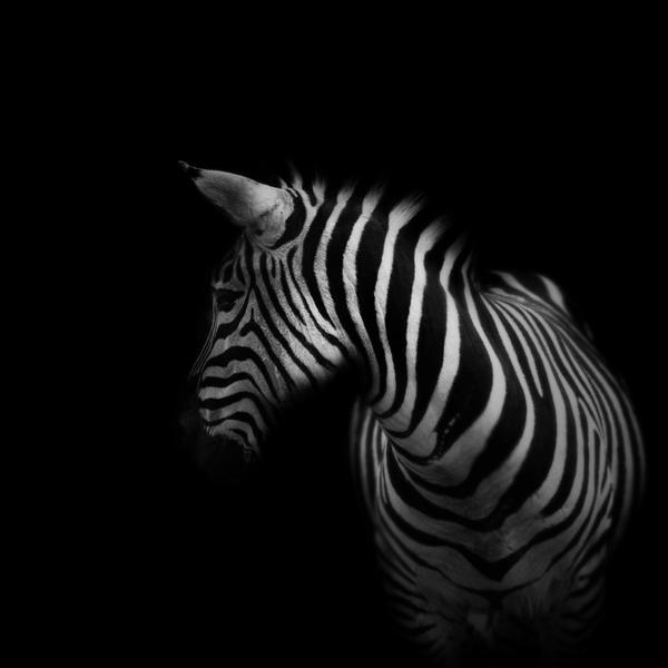 Zebra by slatkatajna