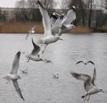 Flying Sea Gull Stock