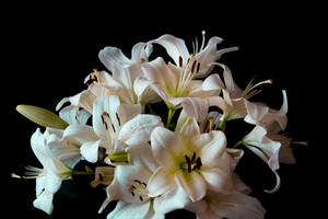 White Lily Stock by Avestra-Stock
