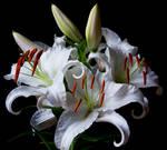 White Lily Stock V