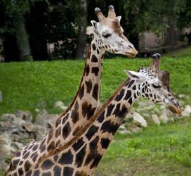Giraffe Stock II