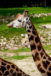 Giraffe Stock III
