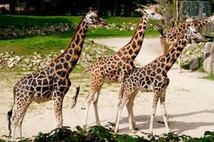 Giraffe Stock IV