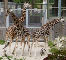 Giraffe Stock V