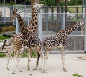 Giraffe Stock VI