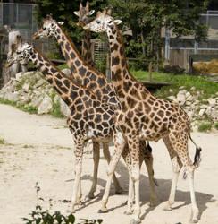 Giraffe Stock VII