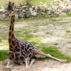 Giraffe Stock IX