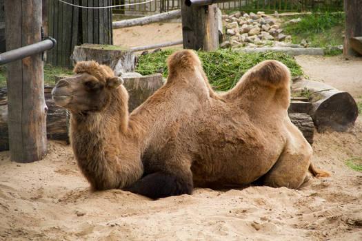 Camel Stock