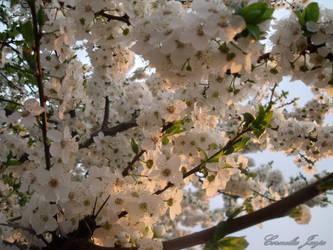 Prunus cerasifera by cornelusha