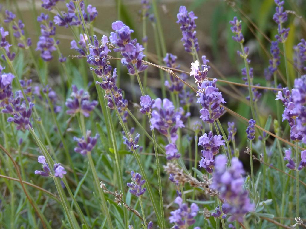 Lavender in the Garden by inkwraith
