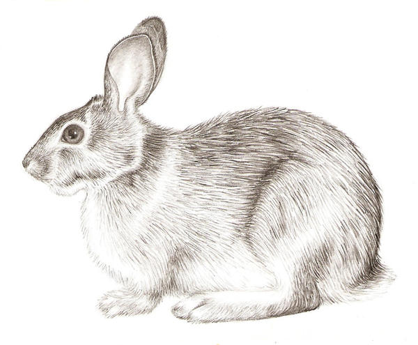 Rabbit Realism by grouchywolfpup