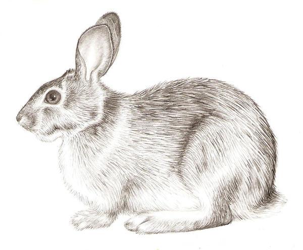 Rabbit Realism by grouchywolfpup on DeviantArt