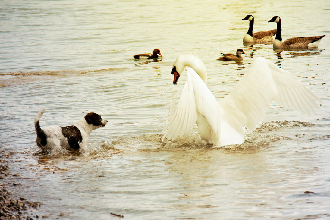Dog and Swan Fights by NelPhotography