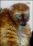 Sclater's Lemur