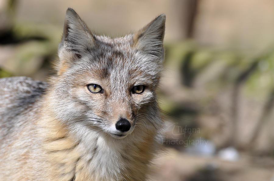 Cat That Looks Like A Fox Corsac Fox by Ti...