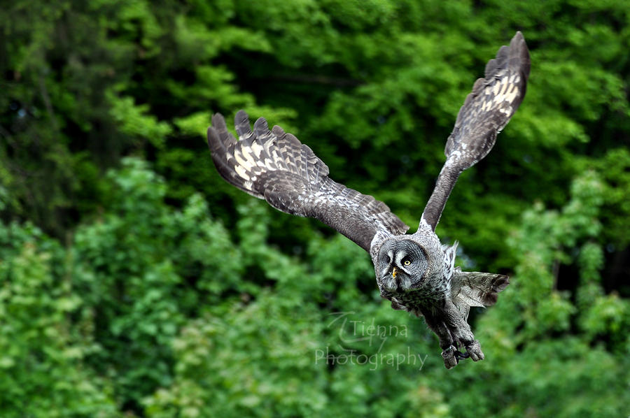 Great Grey Takeoff by Tienna