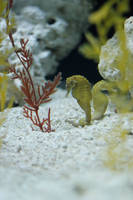 seahorse by akiraxpf