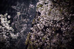 sakura2 by akiraxpf