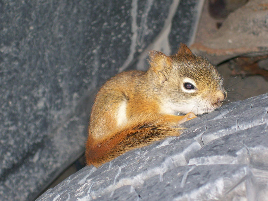 Squirrel baby lost - photo#14