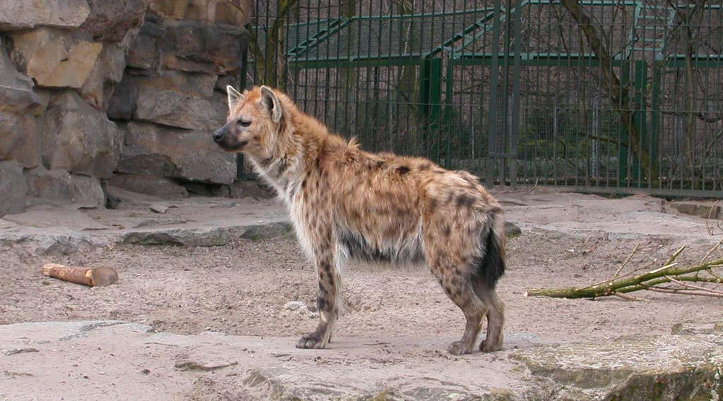spotted hyena by wildtoele