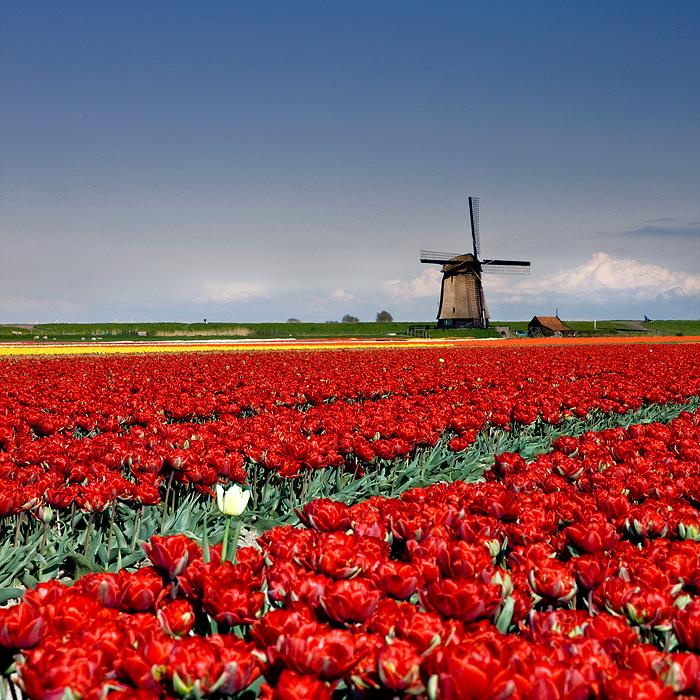 Tulip by adamsalwanowicz
