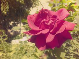 Sweet Rose by Brebenel-Silviu