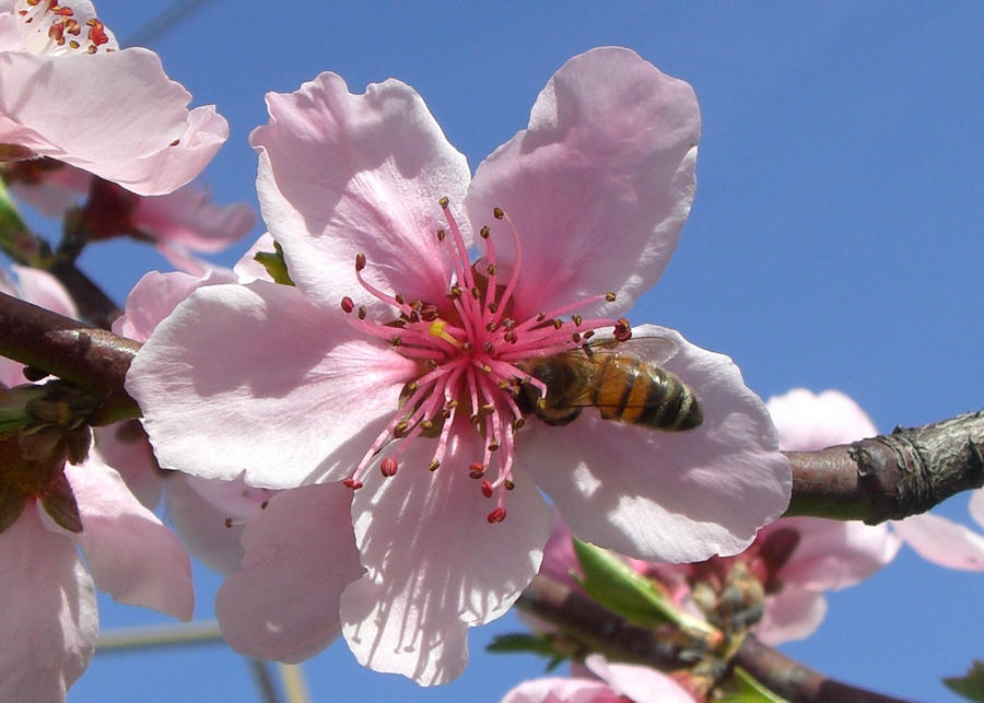 Bee on Peach Flower by alecive