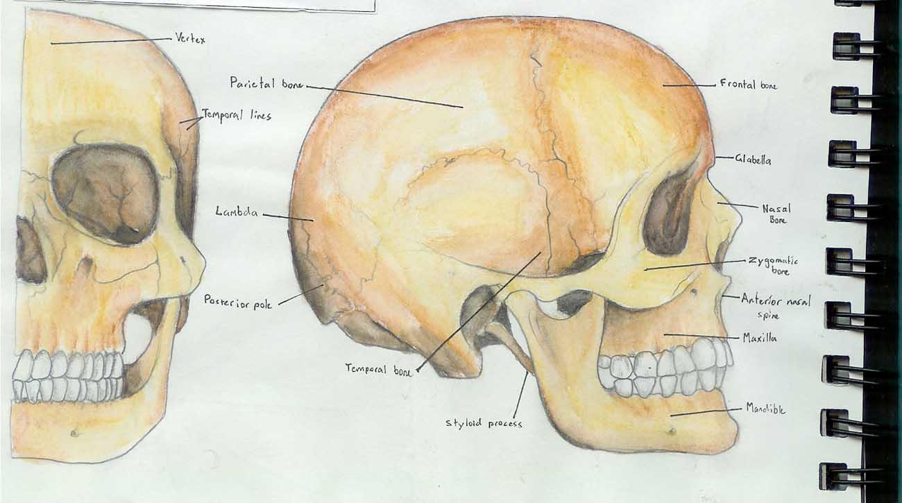 Anatomy skull pictures