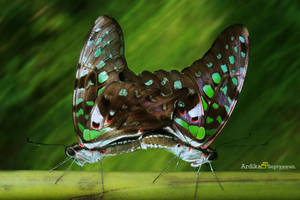 Graphium agamemnon Mating by septle2