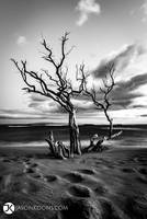 Beach Tree II | Pali by JasonKoons