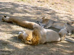 Lion around by numapompilius