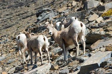 Little Big Horn Sheep by numapompilius