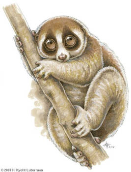 100 Primates - Slow Loris