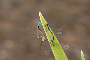 Dragonfly Pairs by Kaldrax