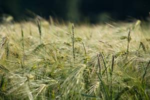 Green Corn by Kaldrax