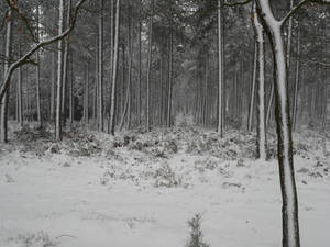Silent Forest