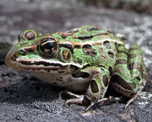 Up Close - Leopard Frog by Nienna-and-Figwit