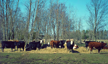 Country Cows by BlondeKatastrophe